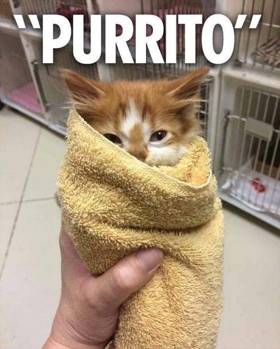 cute purrito cat