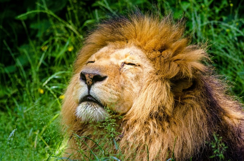 Zookeepers shoot naked man with tranquiliser while trying to save him from lions