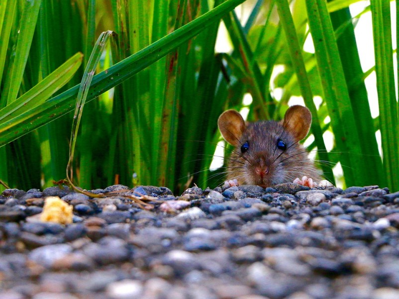20 Facts About Rats