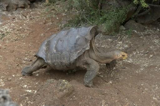 Diego, a tortoise of the endangered Chelonoidis hoodensis