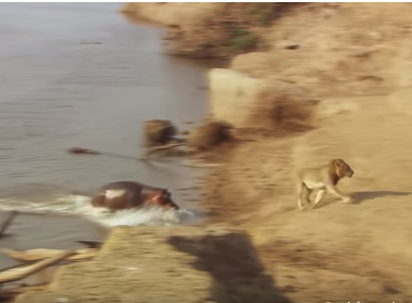 (Video) Super Angry Hippo Charges a Trespassing Lion