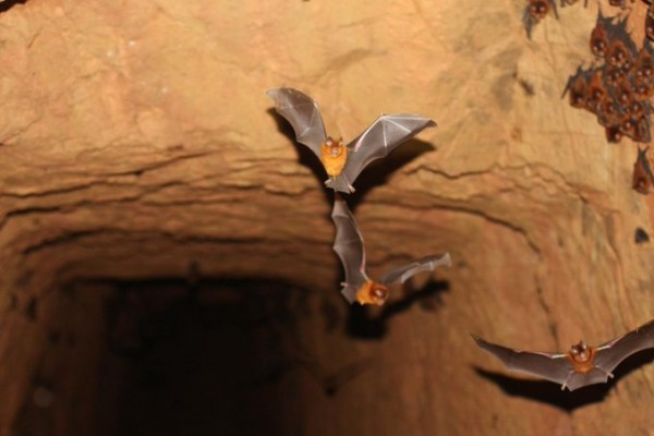 Four New Species of Bats