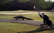 alligator crossing a golf course