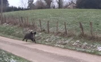 wild boar encounter
