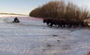 Wood Bison Release in Alaska