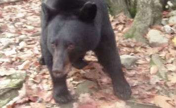 A Bluff Charge by a Black Bear