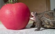 turtle and a tomato