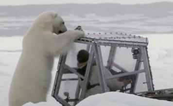 polar bear and cameraman