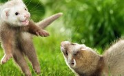 Funny and cute ferret