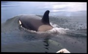 Orcas checking row boat