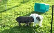 dog and pig playing