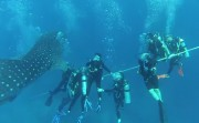 safety stop with whale shark