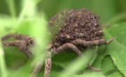 mother spider and her babies