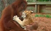 Orangutan Babysits Tiger Cubs
