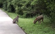 bobcat and coyote encounter