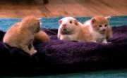 kittens meet guinea pig