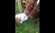 bulldog meets buls