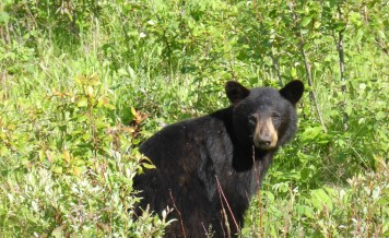NC woman says black bear sniffed, licked her while she did yoga