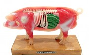 If You Want to Become an Acupuncturist, You need this Acupuncture Pig Model