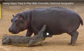 (VIDEO) Young Hippo Tries to Play With Crocodile and Have Fun