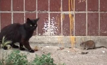 Giant Rat Destroys Cat