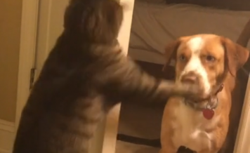 Cat Slaps Dog Face