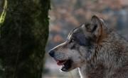 Canis Lupus Lupus